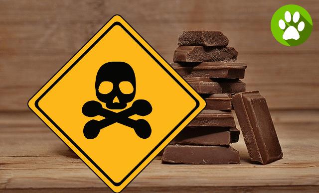 Toxicité chocolat chien et chat