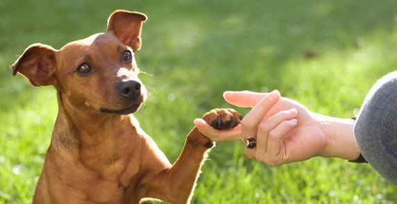 Dressage de chien professionnel