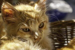 Dresser son chat en 30 minutes par jour