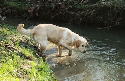 Chien baignade eau ruisseau, danger cyanobactéries