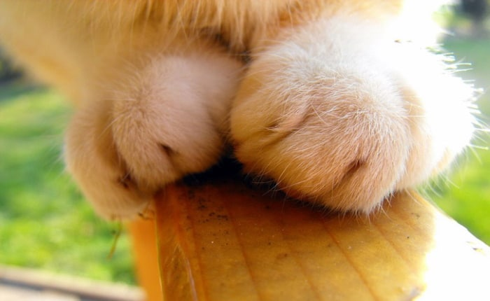 Patte de chat griffes rétractées du félin, chaton avec griffes rétractiles usure top3